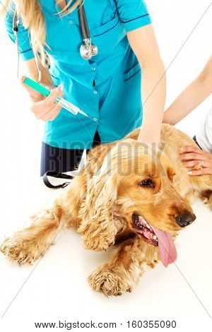 Young female veterinarian holding english cocker spaniel and doing an injection