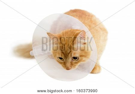 Red cat wearing a transparent plastic Elizabethan collar on a light background