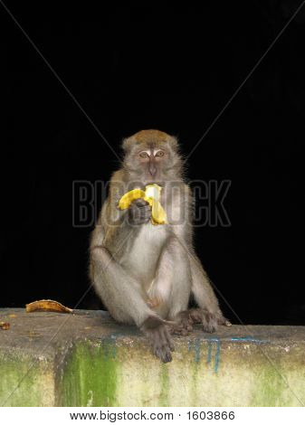 Macaque Monkey Snacking