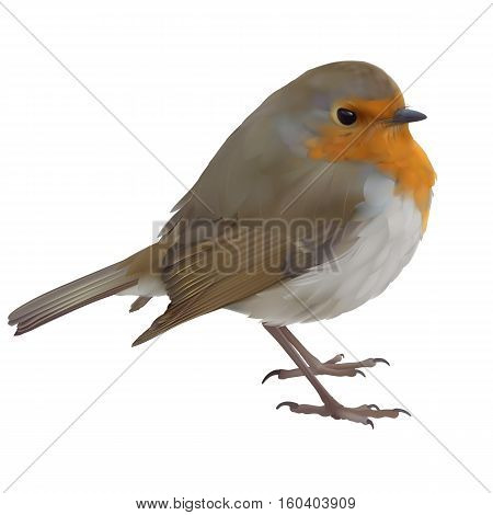 European Robin - Erithacus rubecula. Hand drawn vector illustration of an English or European robin, on transparent background.