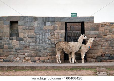 Lama and Alpaca on street of Cusco Peru South America