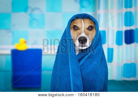 jack russell dog in a bathtub not so amused about that with blue towel having a spa or wellness treatment in the bath or bathroom