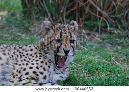 A cheetah lounging on a prairie with sharp teeth.