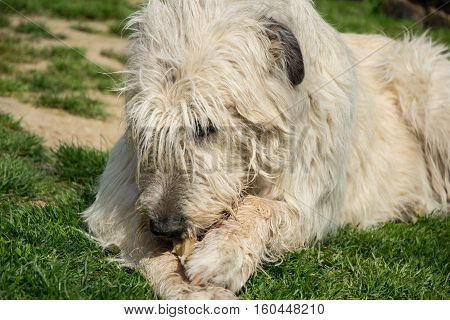 Lying White Irish Wolfhound Dog Eats Bone On The Grass. Happy Adult Dog Gnaws A Bone In The Garden O