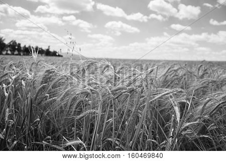 Close Up Of Ripening Barley Ears On Field At Summer Time With Cloudy Sky. Detail Of Barley (hordeum