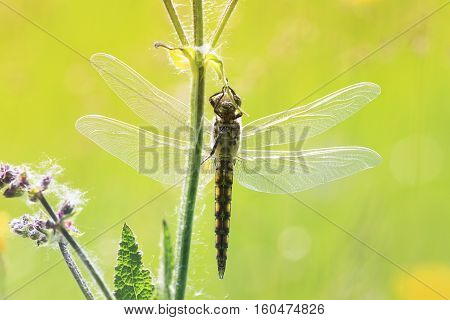 insect dragonfly hanging on to grass, is widely spread its wings