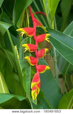 Closeup photo of Heliconia rostrata flower (Hanging Lobster Claw, False Bird of Paradise) in the garden in Singapore
