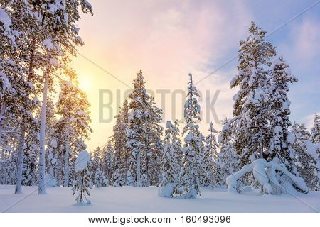 Colorful Winter Sundown - northern snowy forest landscape, big pine trees covered snow, beautiful weather