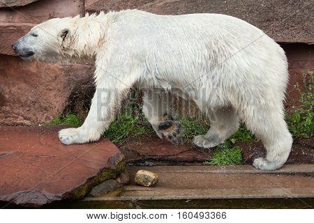 Polar bear (Ursus maritimus). Wildlife animal.