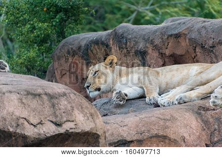 Close up of a Lioness raising her head while on a rock.