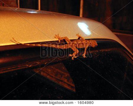 Lizard On Car
