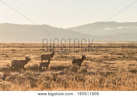a bull elk and his cows in the fall rut