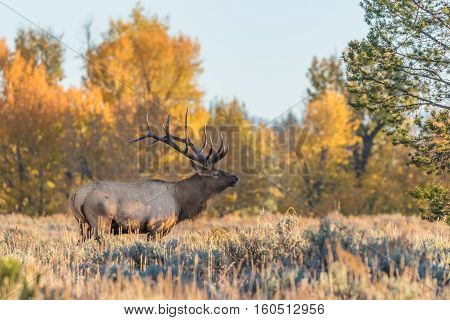 a big bull elk in the fall rut in Wyoming