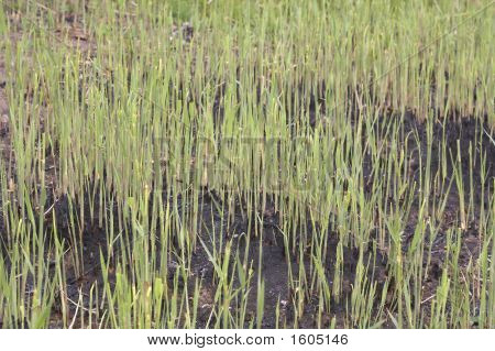 Fresh Green Reed Growing On A Humid Soil/Land