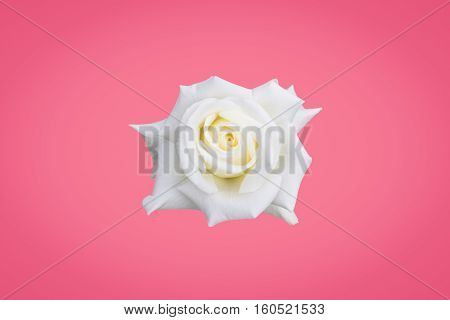 White rose isolated on pink wall background