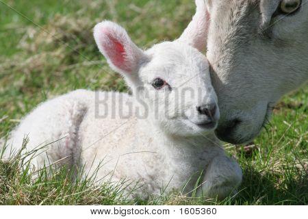 Lamb & Mother