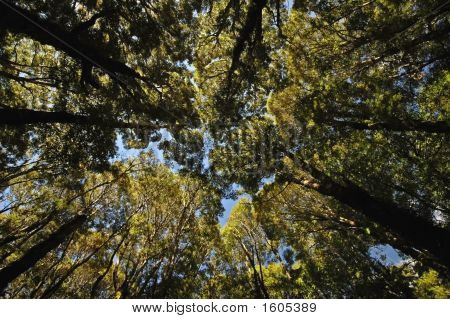 Black Beech Trees