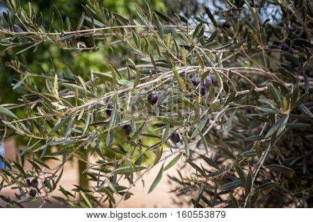 Black olive fruits ripening at branch of olive tree selective focus