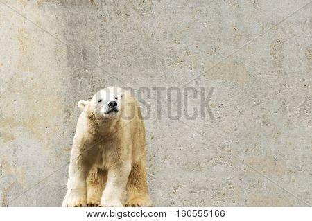 Polar bear. Ursus maritimus. Wild arctic animal