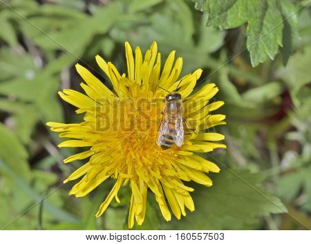 A close up of the bee on dandelion.