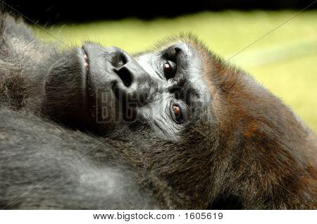 Resting Ape