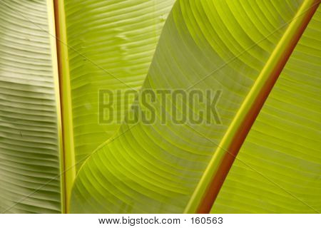Banana Tree Leaves Cu