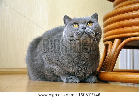 Portrait of British Short hair blue cat with yellow eyes sitting on the floor and staring upward. Friendly attentive pleading look.