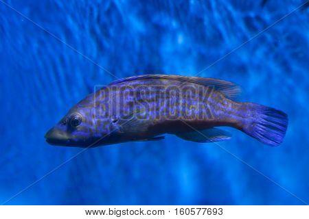 Cuckoo wrasse (Labrus mixtus). Marine fish.
