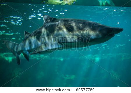 Sand tiger shark (Carcharias taurus), also known as the grey nurse shark.