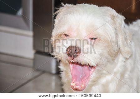 Dog with mouth open yawning very sleepy. Tired dog yawning.