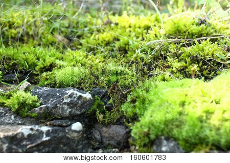 Greenmoss growing on the rock in humid environment