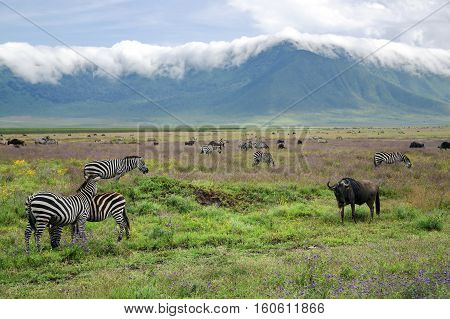 Herds of zebras and blue wildebeests graze on lush meadows on the background clouds crossing through the edge of crater in Ngorongoro Crater Conservation Area, Tanzania. East Africa