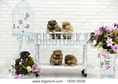 little puppies Spitz play in the Studio on a white background around the flowers