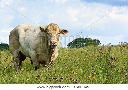 White Bull Grazing