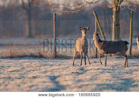 Alert Fallow Deer Standing On Frozen Grass Looking Towards Camera.