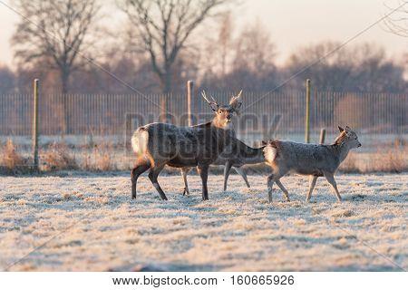 Fallow Deer Stag Standing In Frozen Grass Looking Towards Camera.