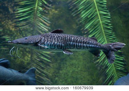 Tiger sorubim (Pseudoplatystoma tigrinum), also known as the tiger catfish.