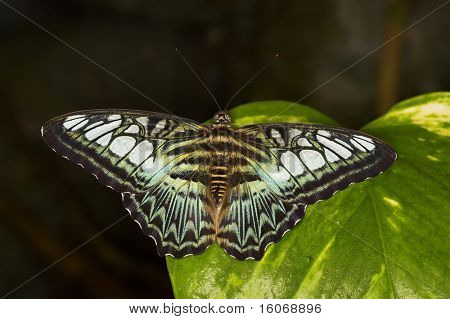 Blue clipper butterfly - parthenos sylvia