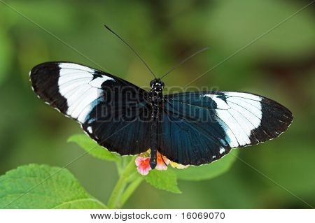 Heliconius cydno (Blue and White Longwing, Grinning Heliconian)