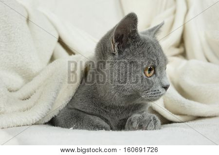 Blue British cat covered with blanket