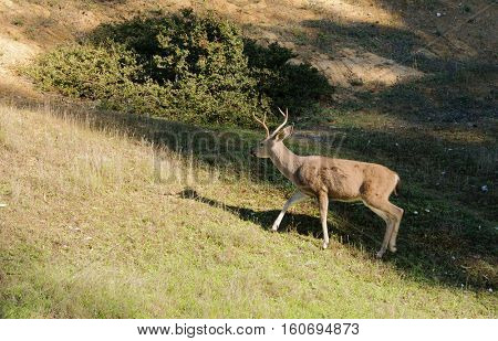 California Blacktail buck moving quickly from the shadows into the sunlight