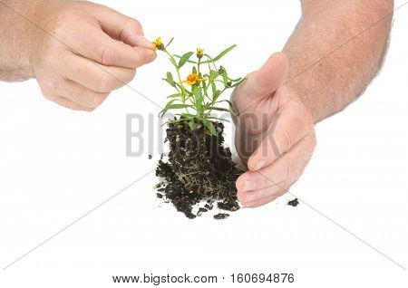 gardeners hands caring for a small seedling flower ready for planting, isolated on white