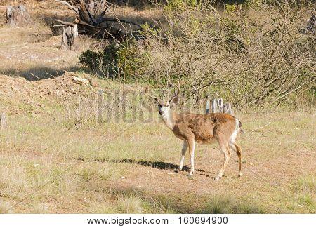 2 California Blacktail bucks browsing on shoots
