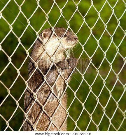 Europäischen Fischotter oder Lutra Lutra, wird neugierig hinter einem Zaun