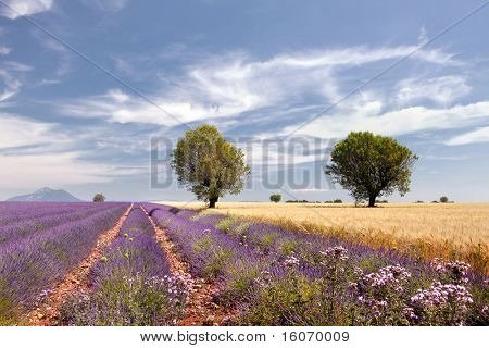 Wheat fields next to the lavender fields of the French Provence near Valensole