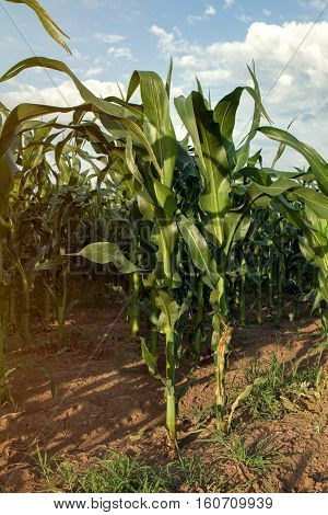 vegetable green young organic corn field background
