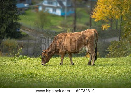red cow posture on green meadow on the village background
