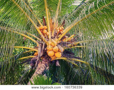 Tropical Seychelles. Seychelles coconut  on the island of La Digue