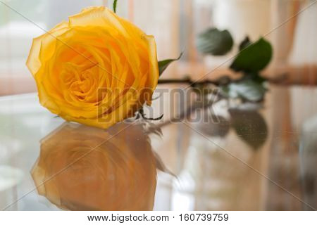 Beautiful yellow rose is reflected in transparent glass table.