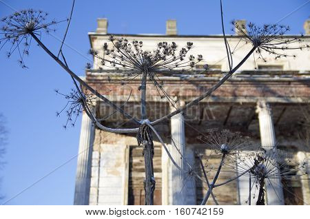 The Heracleum has stretched the dry branches against the background of the old estate. Former estate of counts Stroganovykh, Volyshevo (Pskov Oblast).